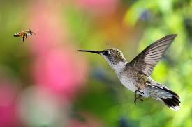 Learn how Hummingbirds Hover