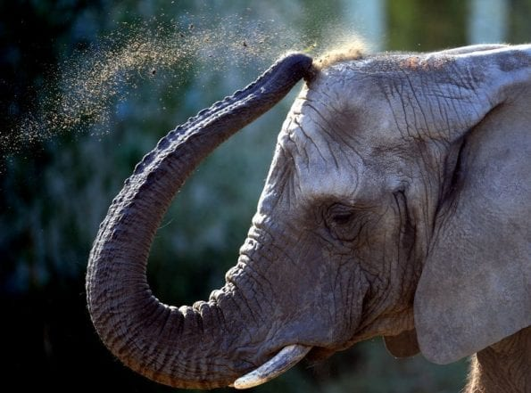 Fun facts for World Elephant Day
